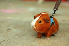 """""""What are you up to?""""  """"Oh, just about to take my Guinea Pig for a walk."""""""