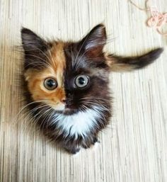 "Meet Yana, the two-faced cat! This fascinating feline has cells from different zygotes, resulting in a unique coloring and ""two-faced"" appearance. Pretty Cats, Beautiful Cats, Animals Beautiful, Beautiful Pictures, Gorgeous Eyes, Wonderful Images, Beautiful Flowers, Cute Funny Animals, Cute Baby Animals"
