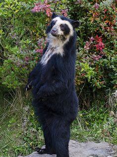 spectacled bear (Tremarctos ornatus)