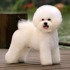 groomering appointment book | professional traditional style on a Bichon Frise from the non ...