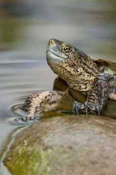 3.29.15 | Pacific Pond Turtle