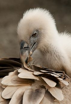 Griffon Vulture - Preening