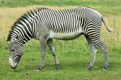 cebra de Grévy o cebra real (Equus grevyi)