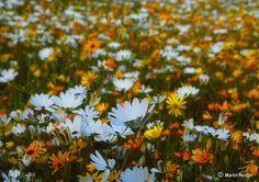 Namaqualand – South Africa's Daisy Sensation ~ Kuriositas Cosmos Flowers, Yellow Flowers, Spring Flowers, Wild Flowers, Most Popular Flowers, Spring Air, Special Flowers, All Nature, Flower Show