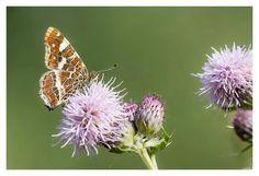 Vlinders & distels is een ideale combinatie. Ook een brandnetel op een vergeten plekje laten staan is belangrijk voor vlinders.