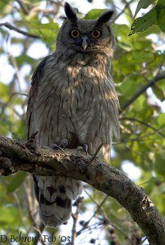 EAGLE OWL | Dusky Eagle-Owl Bubo coromandus - Strigidae - Strigiformes - Birds of ...