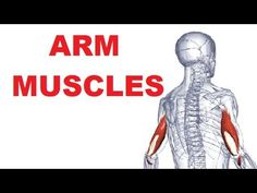Arm Muscles Anatomy - Posterior Compartment (Extensors)