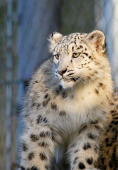 Snow Leopard by wwmike - Mike Seamons