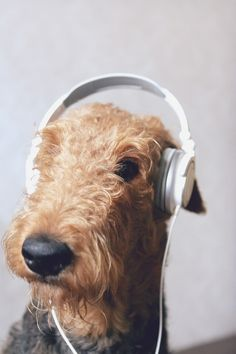 #airedale #terriers #love #music...love this photo