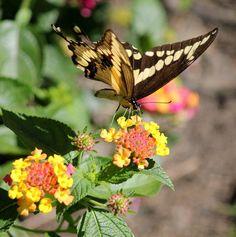 Giant swallowtail loves PW lantana luscious berry blend