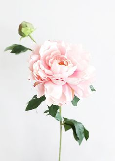 Find artificial flowers for your DIY floral arrangement or wedding flower bouquet, like this pretty pink silk peony flower. It is perfect to bring a romantic element to your designs. Light Pink Tall x Wide Bloom Silk Peonies And Hydrangeas, Silk Peonies, Peonies Garden, Purple Peonies, Peonies Bouquet, White Peonies, Flowers Garden, Yellow Roses, Pink Roses