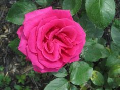 "Our ""Voluptuous"" rose. This one has a beautiful raspberry like scent."