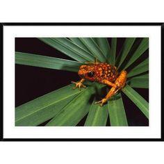 "Global Gallery 'Splendid Poison Dart Frog on Bromeliad' Framed Photographic Print Size: 30"" H x 42"" W x 1.5"" D"