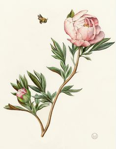 Peony - Collection of botanical illustrations of flowers by Wendy Hollender.