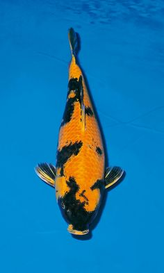 Koi Fish Colors, Koi Ponds, Carpe, Japanese Koi, Koi Carp, Tropical Fish, Goldfish, Unique, Animals