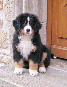 beautiful Berner puppy
