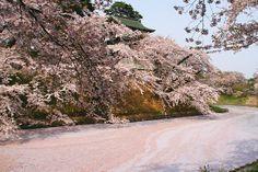 sakura season #japan