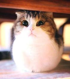 Puffy fluffy cat the meta picture, fat baby cats cute kitty - thevbsc Cute Baby Cats, Baby Kittens, Cute Baby Animals, Kittens Cutest, Cats And Kittens, Cute Dogs, Cute Animal Illustration, Cute Animal Drawings, Fluffy Kittens