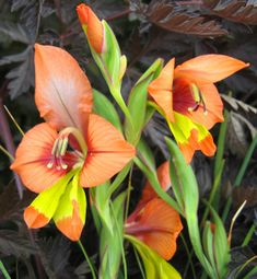 Gladiolus alatus (South African bulb)  Google Image Result for http://www.anniesannuals.com/signs/d%2520-%2520g/images/gladiolus_alatus_cl%2520.jpg