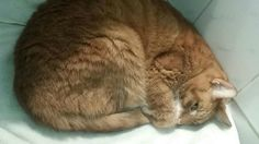 UPDATE #9: Tiger Tim has metastasized carcinoma, however he continues to baffle his medical team. He is lively, eating well and even wants to play. The statement from Magnificat Cat Rescue sadly echoes everyone's emotions... Tiger's heart is broken; he no longer wants to live.