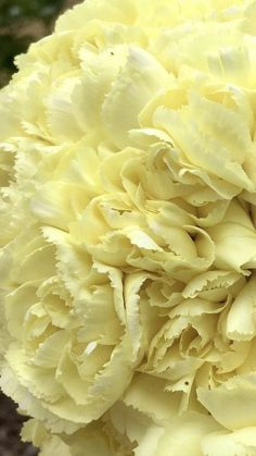 Peach Flowers, Cream Flowers, Colorful Flowers, White Flowers, Yellow Carnations, Mini Carnations, Carnation Bouquet, White Carnation, Flowers For Sale