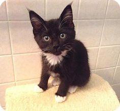 HILLSBORO, OR - Domestic Shorthair. Meet Schmutz and Streak - Bro/Sister siblings, a kitten for adoption. http://www.adoptapet.com/pet/13178108-hillsboro-oregon-kitten