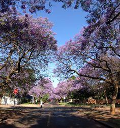 Jacaranda city