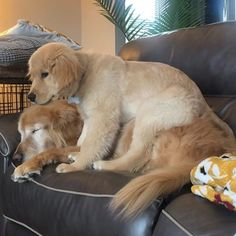 Charlie, The Blind Golden Retriever, Gets Some Help From Puppy Maverick - World's largest collection of cat memes and other animals Cute Teacup Puppies, Tiny Puppies, Cute Puppies, Cute Dogs, Really Funny Dog Videos, Cute Puppy Videos, Bird Dog Training, Old Golden Retriever, Golden Retrievers