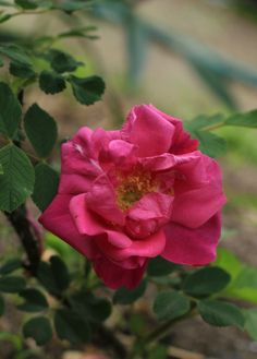 'George Will' (Hybrid Rugosa) Skinner, Canada, 1939 - clusters of large, barely double deep pink to light red blooms; very fragrant with a clove-like scent; small leaves; lovely red hips; slightly susceptible to blackspot; 5', very hardy