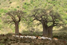 Baobab trees near Lake Natron, TanzaniaMore Pins Like This At FOSTERGINGER @ Pinterest
