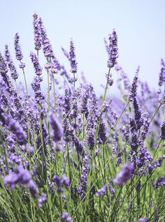 Lavanda y 8 hierbas con flores hermosas y de gran sabor Lavender Fields, Lavender Flowers, Purple Flowers, French Lavender Plant, Lavender Plants, Spring Flowers, Lavender Meaning, Growing Lavender, Flower Meanings