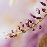 Fine Art Photography print - purple photo prints - nature botanical print 5x5 -  photography print - pastels clickety, $15