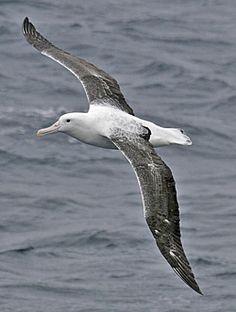 Southern Royal Albatross. (Pete Morris)