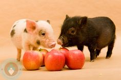 A Pair of Micro-Pigs next to some apples! - Growing Your Baby This Little Piggy, Little Pigs, Mini Teacup Pigs, Teacup Piglets, Micro Mini Pig, Pig Pics, Tiny Pigs, Pig Breeds, Pig Farming
