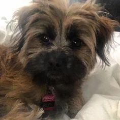 It is too early to be up...can I go back to bed? #lifeofriley #sleepy #tooearly #mydogiscutest #pup #puppy #puppyday #puppysofinstagram #dog #dogs #dogslife #dogsofinstagram #dogstagram #dogoftheday #whyamiawake #lacyandpaws #monday #mondays #mondayblues #notamorningperson #goodmorning #bedhead #happiness #shihtzu #shihtzucorner #shihtzusofinstagram #maltipoo #puppies #puppyeyes #sleepypuppy by thepup_riley