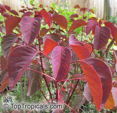 Euphorbia cotinifolia-foliage-aglow-640