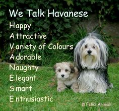 What is a Havanese?
