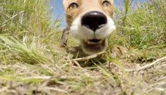 A Fox Stumbled Upon A GoPro. You Have To See What Happened Next! - http://www.lifebuzz.com/gopro-fox/