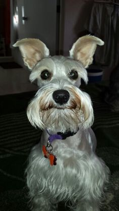 This mini schnauzer has the most adorable smile on his face what a happy sweet little mini