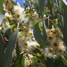 Okaliptus Yaprağı