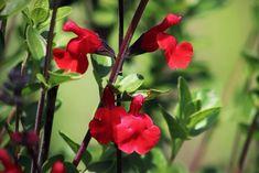 Zelf gemakkelijk een kruidentuin aanleggen | HGVJ.eu Salvia, Honey, Sage