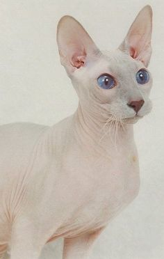 Peterbald cats originated in Russia. All Cat Breeds, Dog Breeds, Pretty Cats, Beautiful Cats, Purebred Cats, Egyptian Cats, Exotic Cats, Animals Amazing, Exotic Shorthair