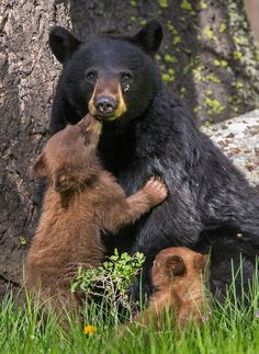 Bears hugs and kisses: A black bear cub snuggles up in America's Yellowstone National Park, located in Wyoming, Montana and Idaho