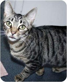 American shorthair cat breeder nj