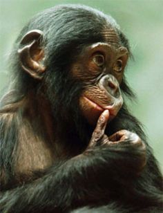 Bonobo - cute or what. Primates, Monkey See Monkey Do, Ape Monkey, Cute Baby Animals, Animals And Pets, Funny Animals, Baboon, Tier Fotos, Animal Photography