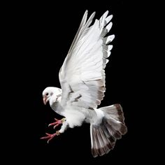 Homing Pigeons In Flight by David Stephenson (US)