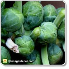 Brussels Sprouts - growing Brussels Sprouts - how to grow Brussels Sprouts