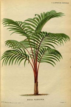 v.24 (1877) - L'Illustration horticole : - Biodiversity Heritage Library