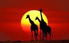 Giraffe family silhouettes in Masai Mara Photo by Prasit Chansareekorn -- National Geographic Your Shot
