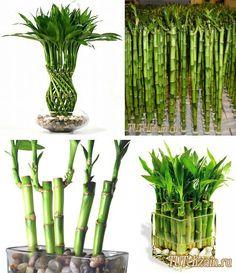 Bamboo Plant Care, Lucky Bamboo Plants, Jardim Vertical Diy, Vertical Garden Diy, Indoor Plants Low Light, Best Indoor Plants, Small Garden Design, Plant Design, House Plants Decor